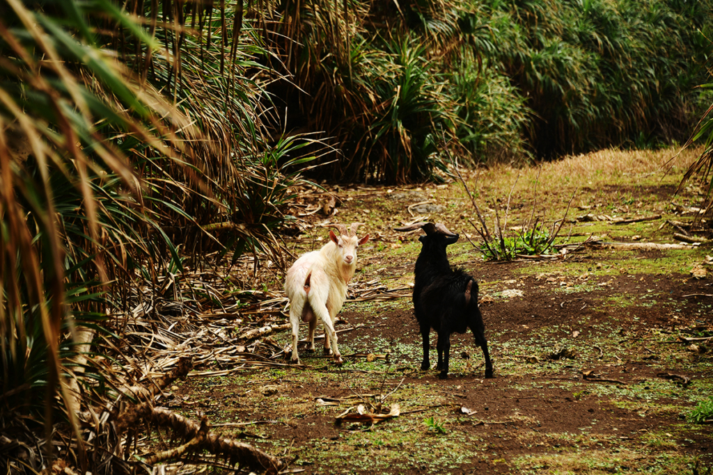 鳩間島は野生のヤギにたくさん会える